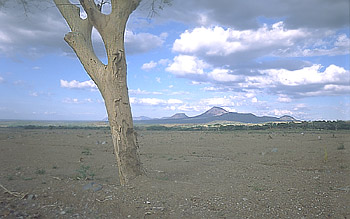 Close view of tree abraded by lahar from Casita Volcano, Nicaragua