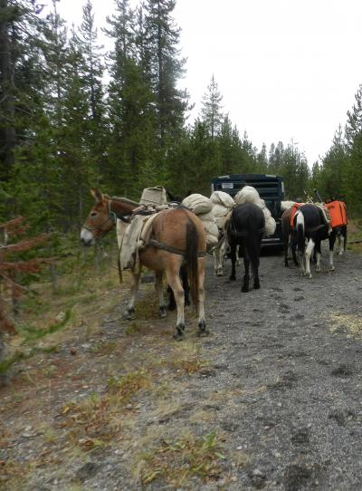 Mules loaded with sampling equipment and supplies for a mission to collect gas and thermal water samples from the Bechler River area in the southwest part of Yellowstone National Park (Click image to view full size.)